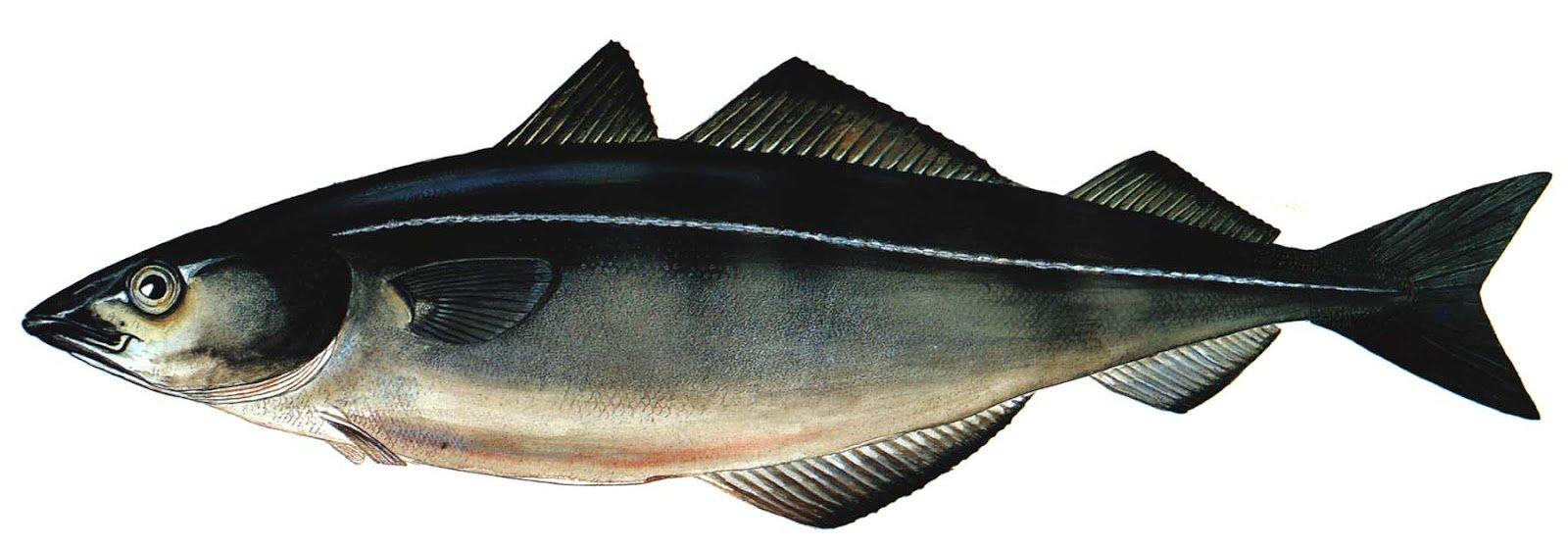 какую рыбу ловят на технопланктон